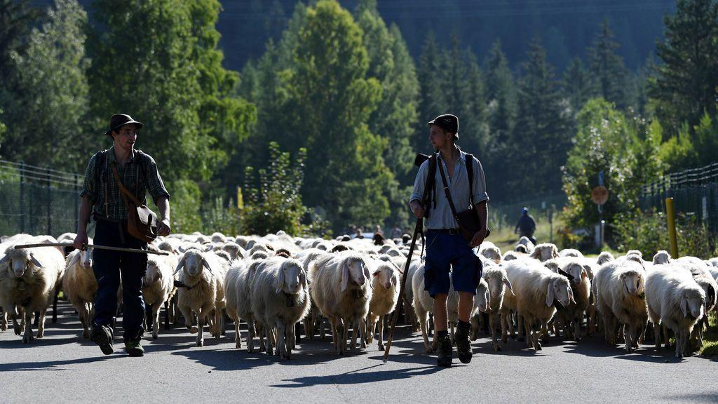 Granjeros llevan a su rebaño al tradicional 'Almabtrieb' alemán