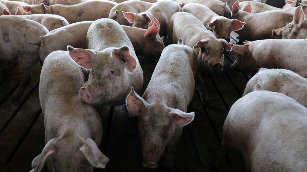Japón registra su primer brote de peste porcina después de 26 años