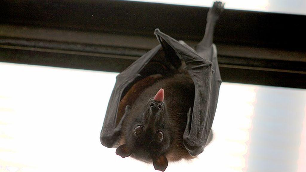 Hallados dos casos de mordedura de murciélagos con rabia en Huelva y Valladolid