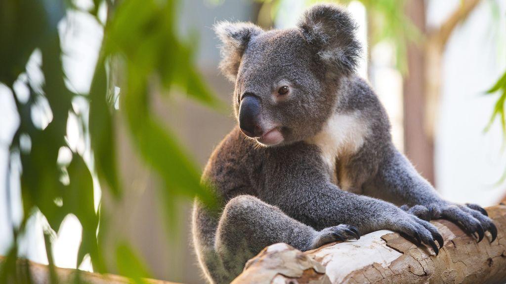 Hallan la diversidad genética que puede salvar a los koalas de la extinción