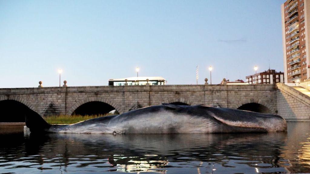 Un cachalote sorprende en el río Manzanares