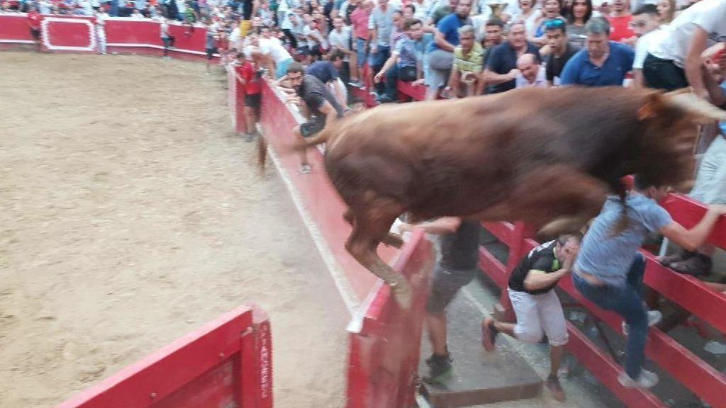 Toro a la fuga en Villafranca (Navarra)