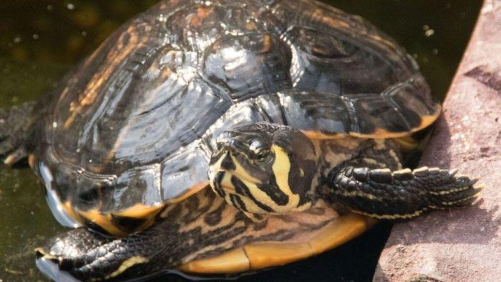 La polémica de la tortuga en la vagina sigue: ¿es fruto de una agresión sexual?