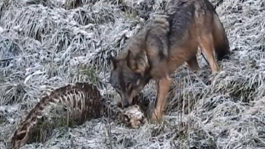 Se prohíbe la caza de lobos en la zona de España con mayor densidad de estos animales