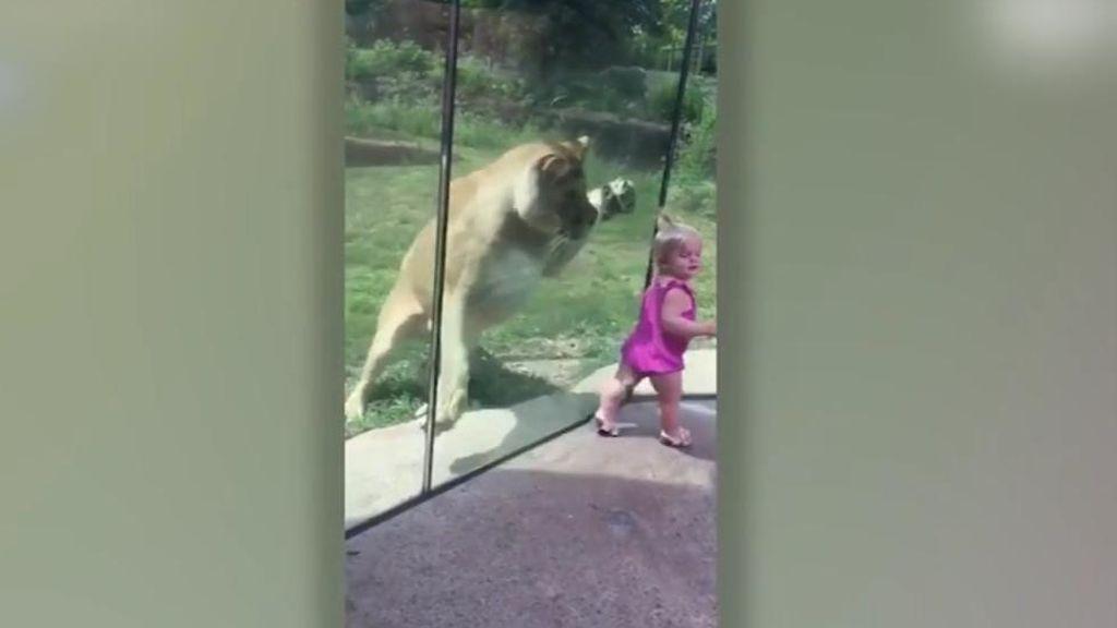 Huye entre sollozos tras el 'ataque' de una leona en un zoo de EEUU