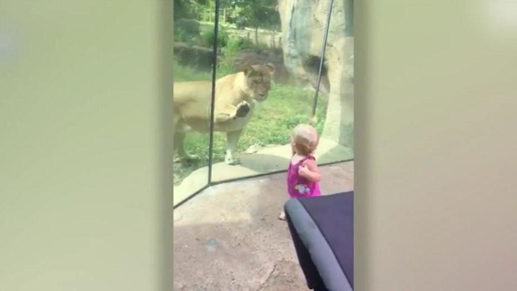 Una leona 'ataca' a una niña detrás del cristal en un zoo de EEUU