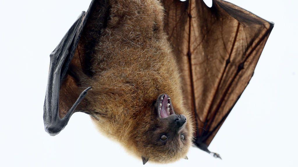 Los murciélagos, aves acuáticas y cerdos pueden ser responsables de las próximas gripes