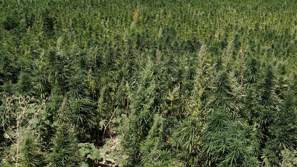 Detenidos cinco hombres que tenían una plantación de más de 2.100 ejemplares de marihuana en Lanzarote
