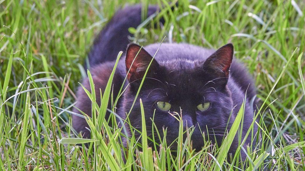 Se desmonta el mito de que los gatos cazan ratas
