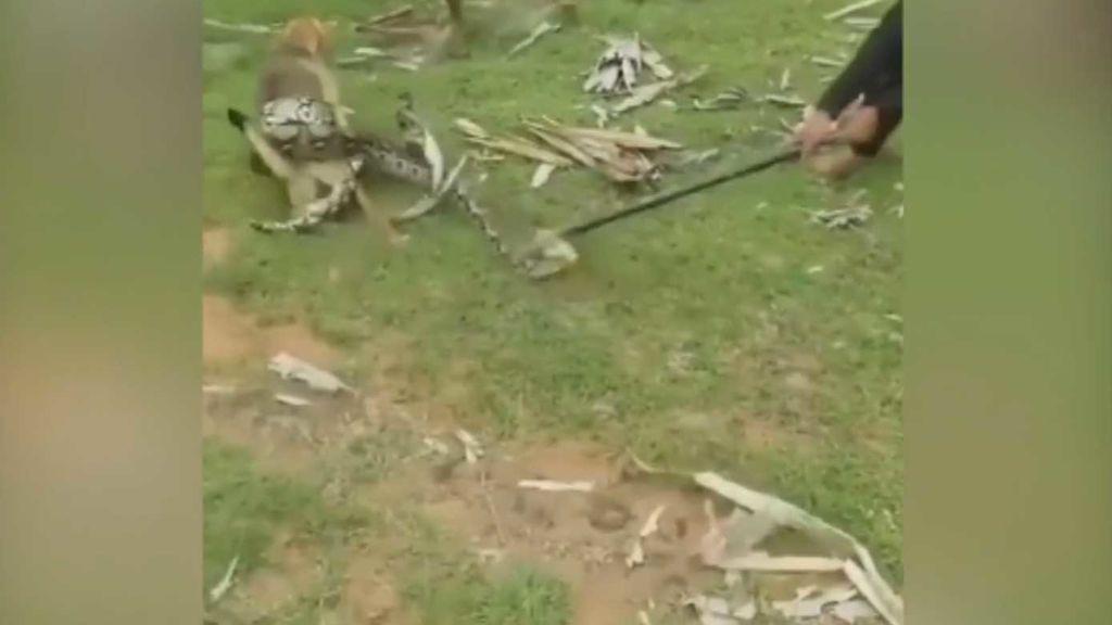 Unos niños se enfrentan a una serpiente que ha atrapado a su perro