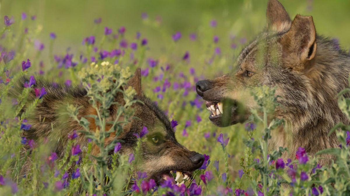 """""""El lobo es un veterinario del monte, controla enfermedades que son lacras para la ganadería"""""""