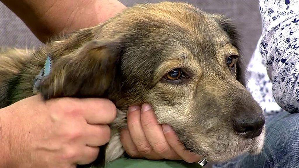 Kil, un perro de siete años súper educado que busca una nueva familia