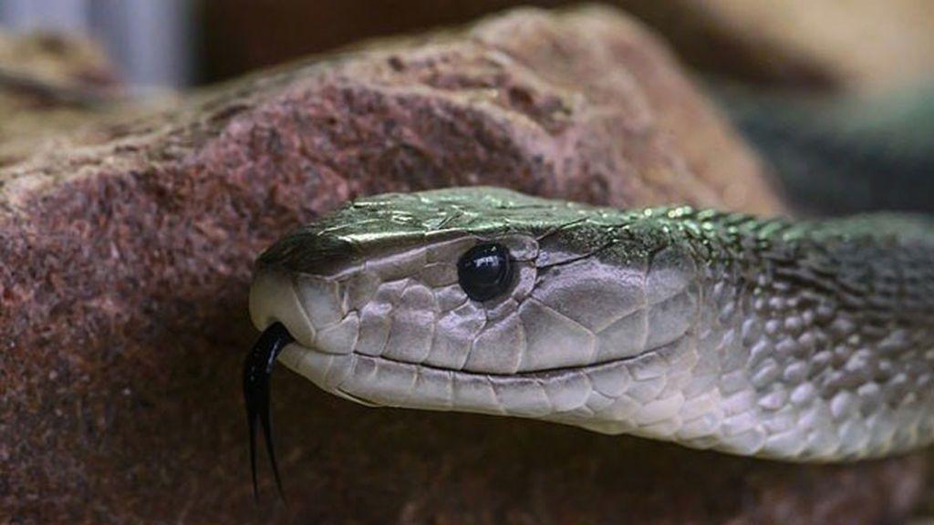 Adiós temor a las mordeduras de serpientes: descubren un antídoto para hacer frente a su veneno