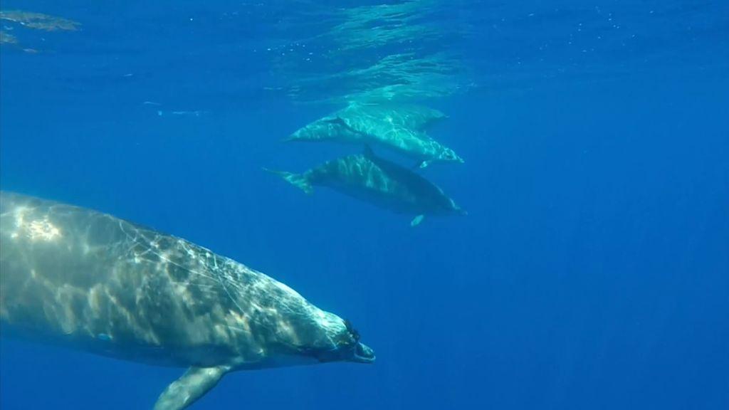 La isla del Hierro es el mejor sitio para ver Zifios: una especie marina casi desconocida