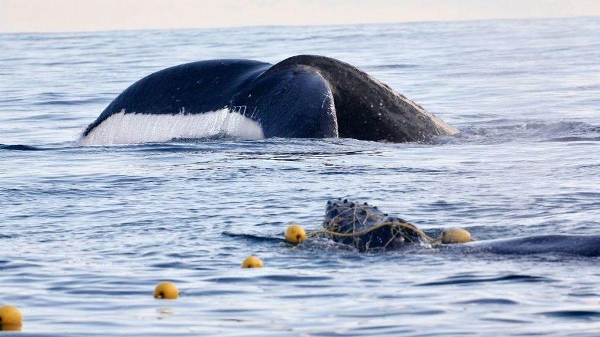 El rescate a una cría de ballena en Australia reabre el debate de las especies animales en peligro