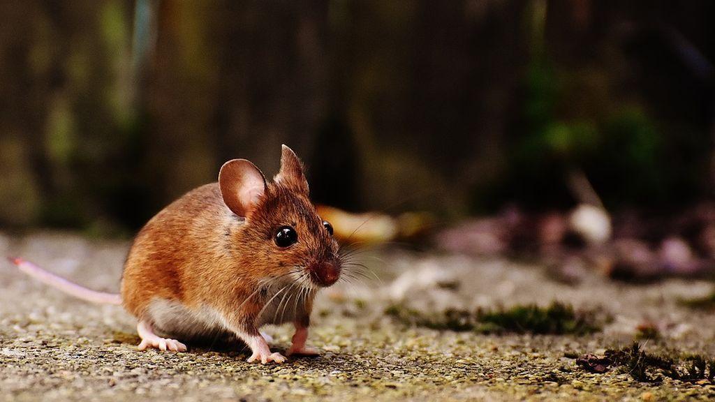 Ratones nacido de dos madres, el logro de unos científicos chinos
