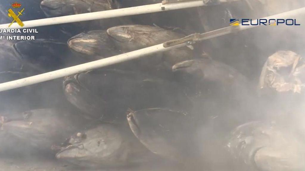 Cae una organización dedicada al tráfico ilegal de atún rojo
