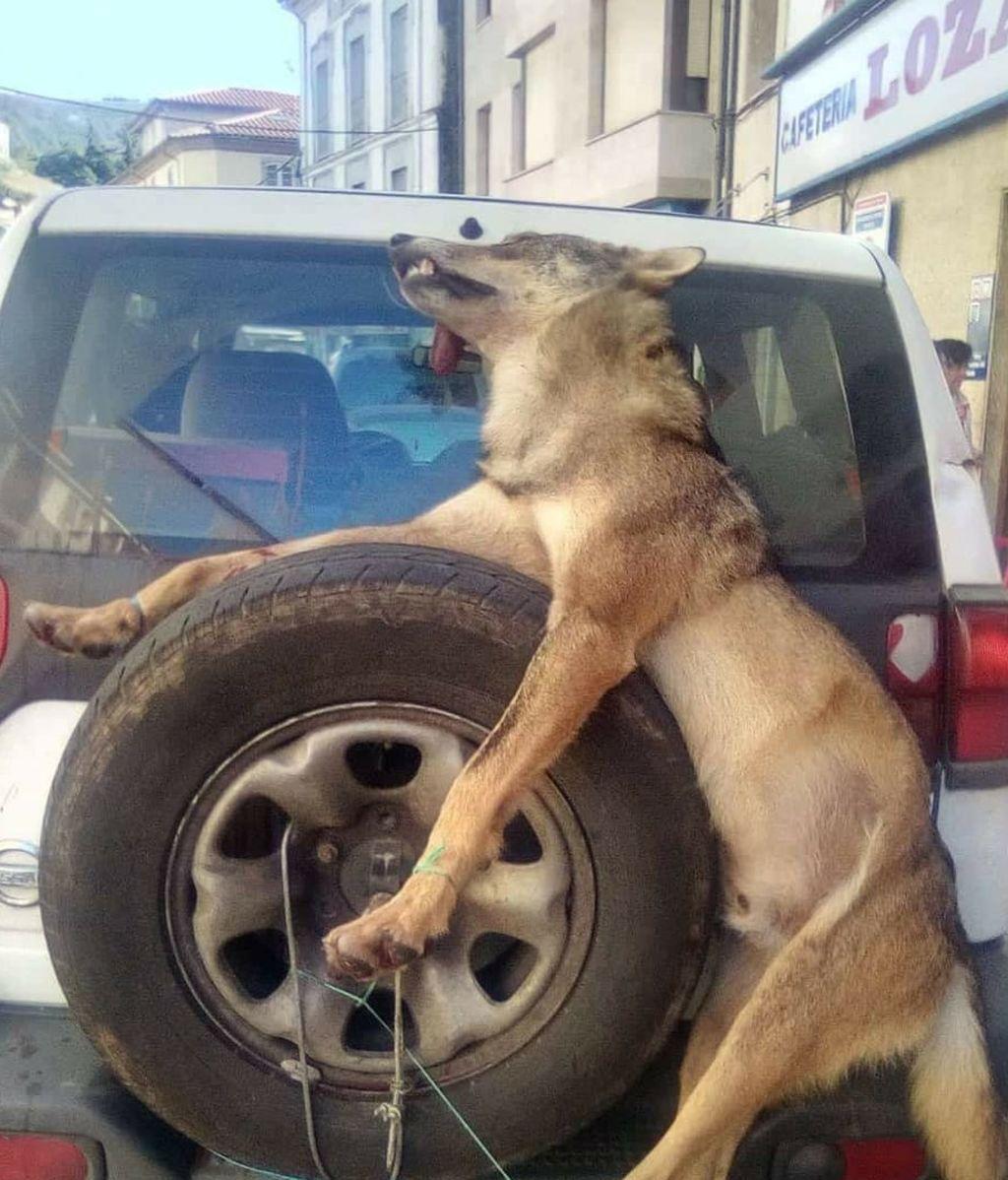 La imagen de un lobo muerto exhibido por guardas de Asturias desata la polémica