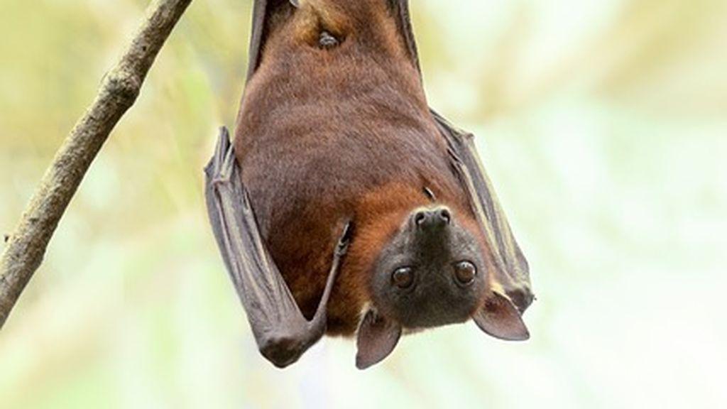 Activan en Lugo el protocolo de rabia tras un nuevo caso de mordedura de murciélago