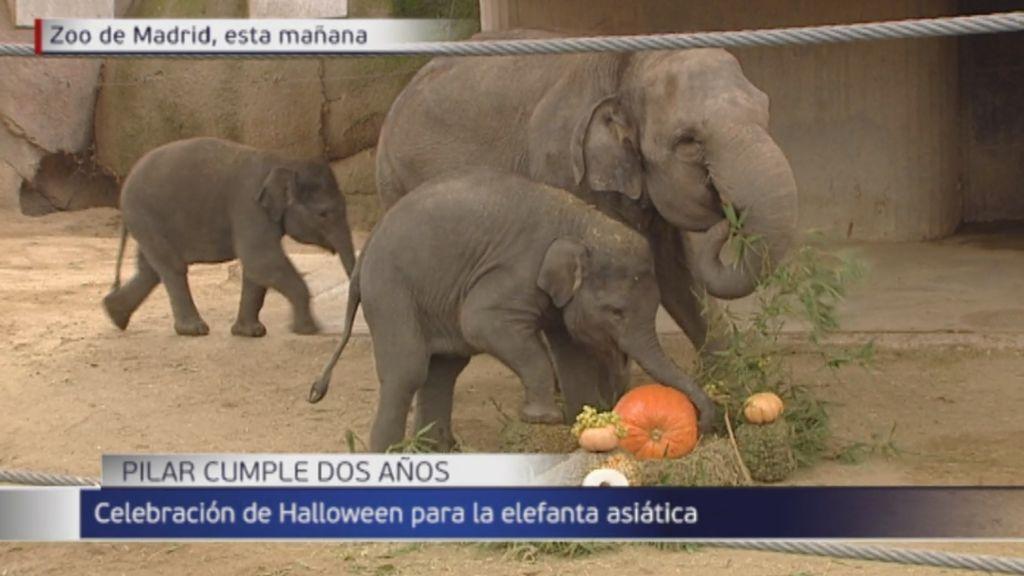Pilar, la elefanta asiática del zoo de Madrid celebra su cumple de una forma original