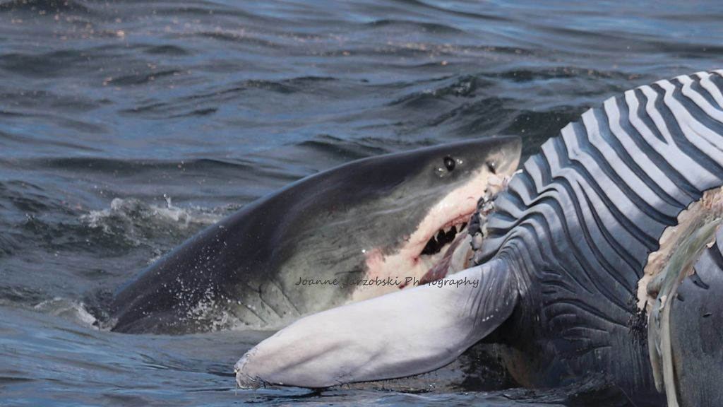 tiburon-ballena