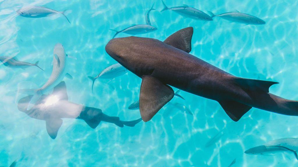 tiburon-devora-ballena