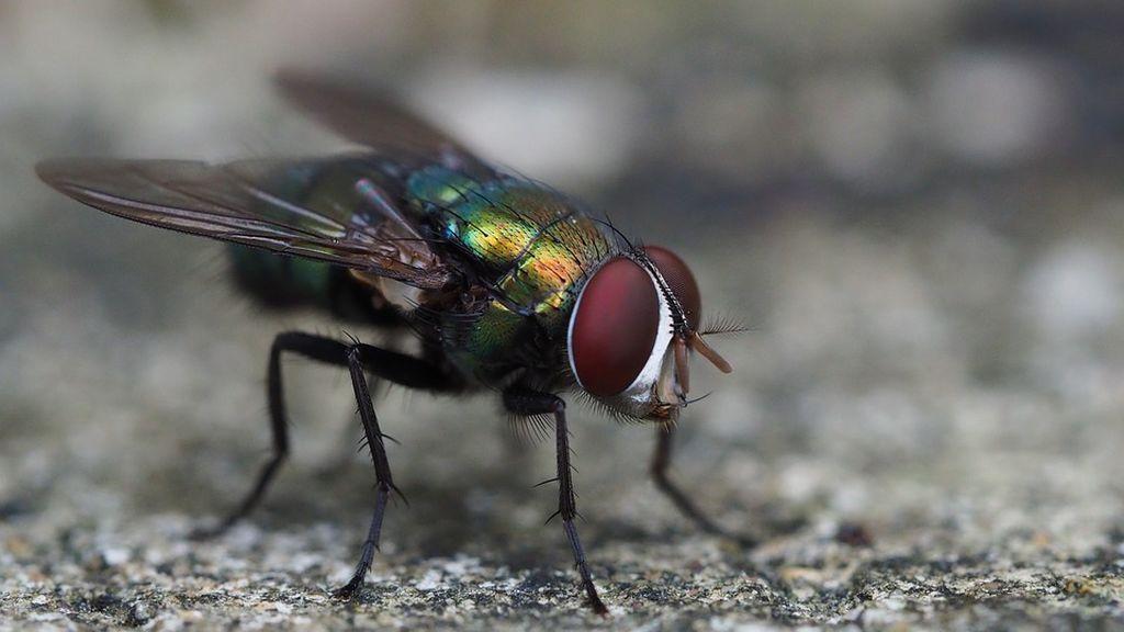 ¡Cuidado con las moscas! Estas son las siete enfermedades que te pueden transmitir