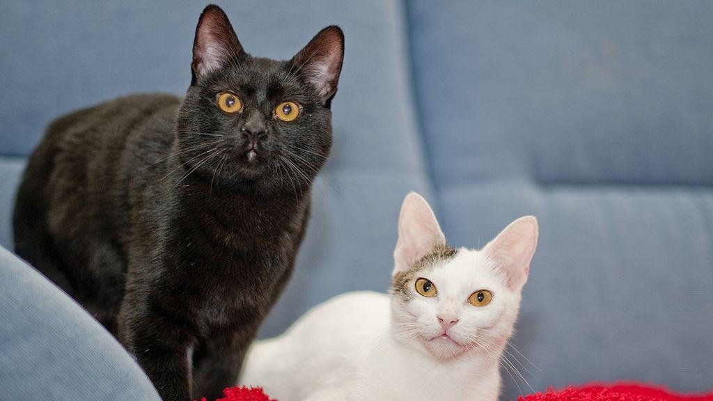 El mes de octubre, la peor pesadilla para los gatos negros y blancos