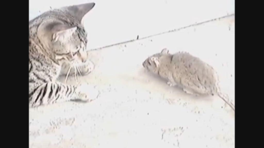 "Pelea épica entre un tímido gato y una ""rata karateka"""