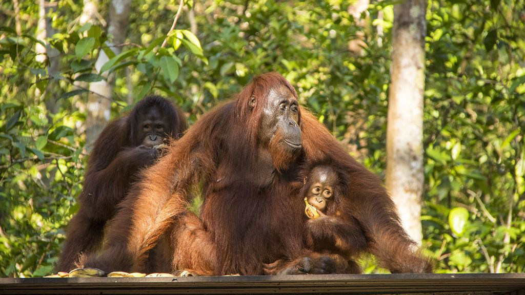 La palma que destruye Borneo