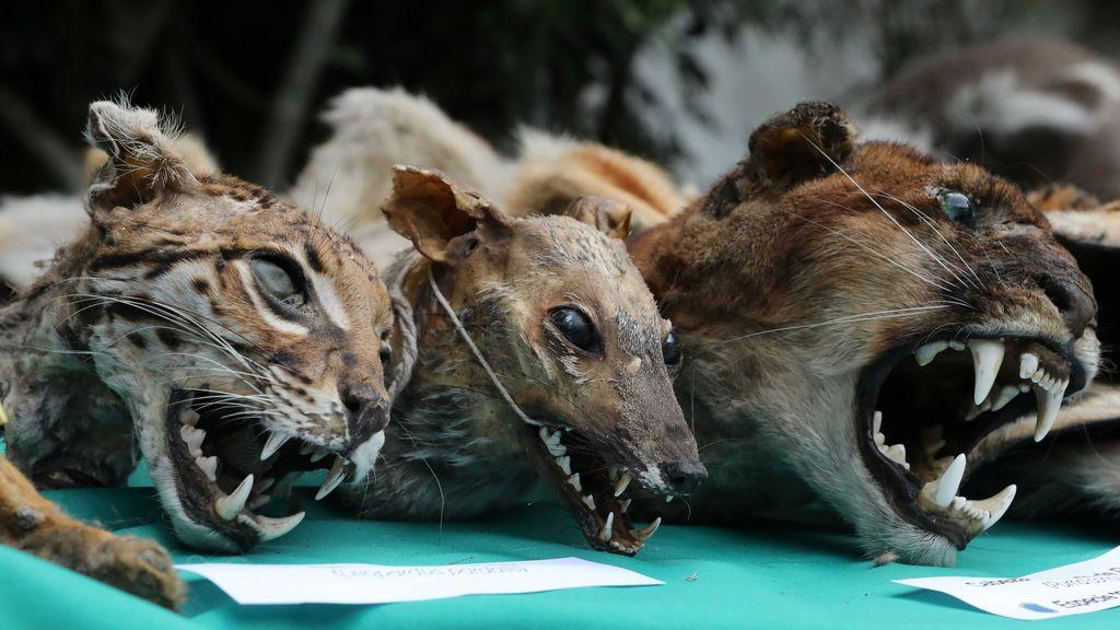 Tiger joven continuamente 8 cm de animales salvajes collecta 88413