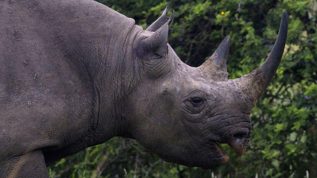 Muere un rinoceronte negro en un zoo de Francia cuando intentaban extraerle su semen
