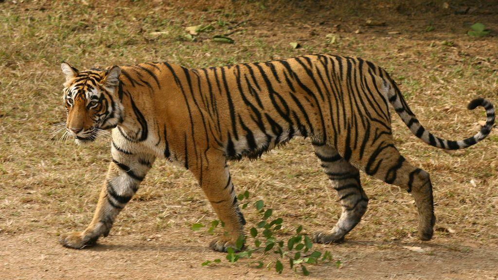 tigresa-india