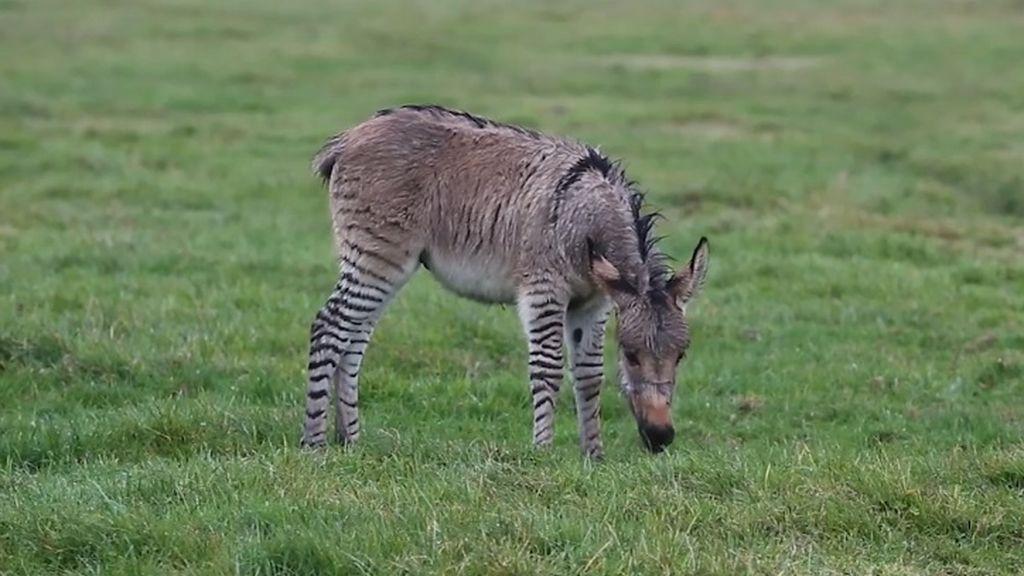 """Impacto mundial tras nacimiento de un """"zonkey"""": así es el extraño cruce entre una cebra y un burro"""