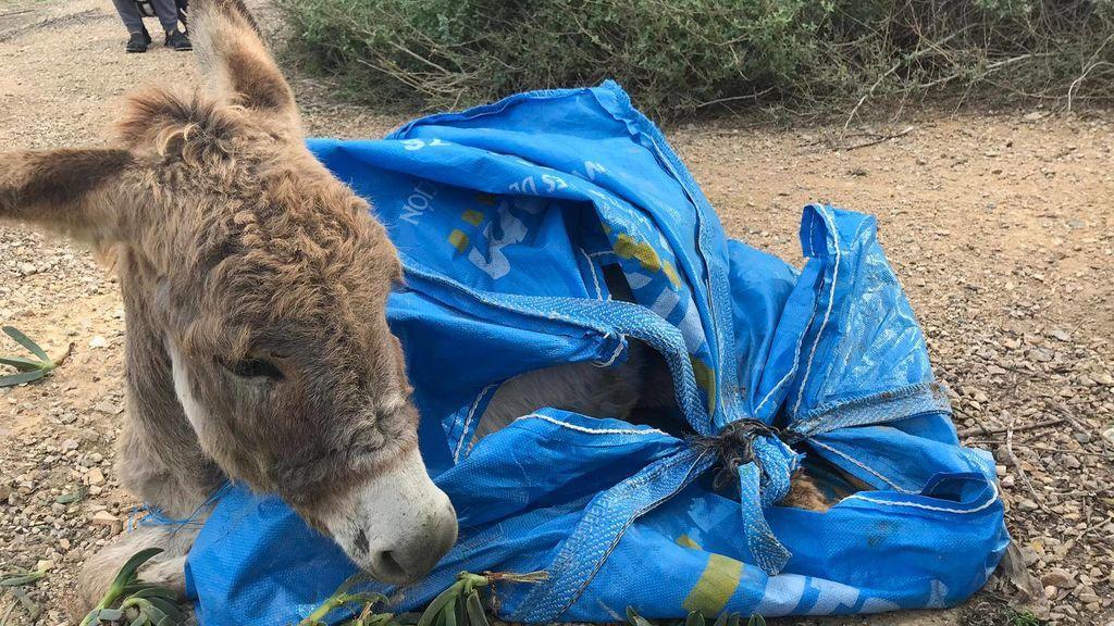 Muere un burro bebé abandonado en una bolsa de plástico en Alicante