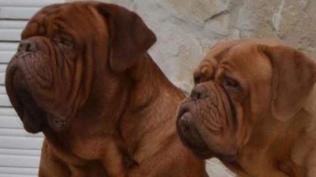 El dogo burdeos, un perro vigilante y afectivo que suele estar muy apegado a sus dueños