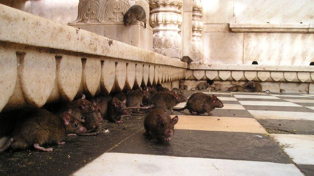 Una familia de Birmingham lleva más de una década conviviendo con ratas en su domicilio
