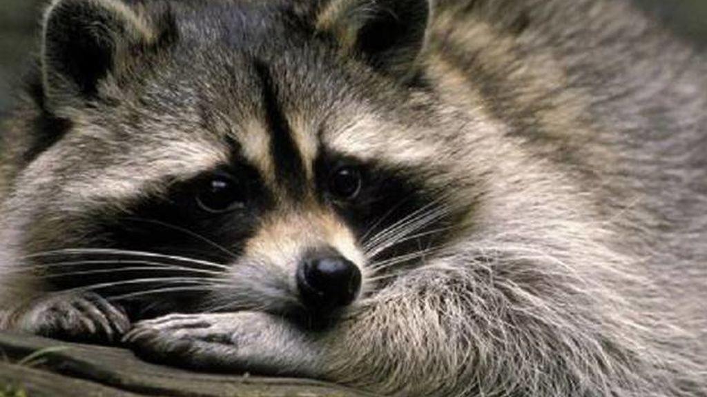 Los animales invasores en España: cuáles son y cómo llegaro