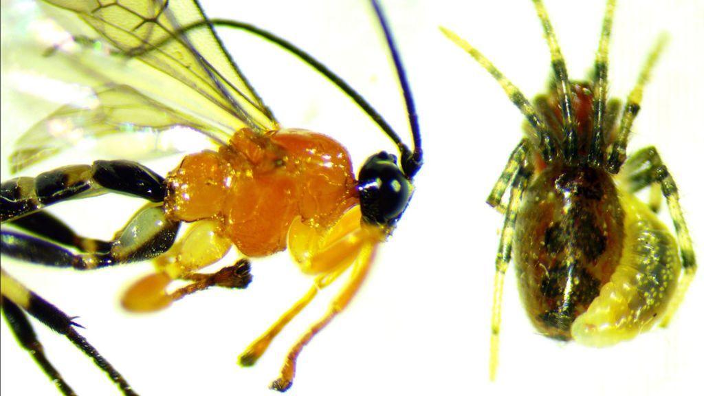 Una avispa que convierte arañas en drones zombies a sus órdenes
