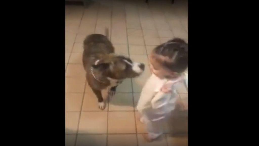 Descubre por qué los pitbull no son agresivos por naturaleza