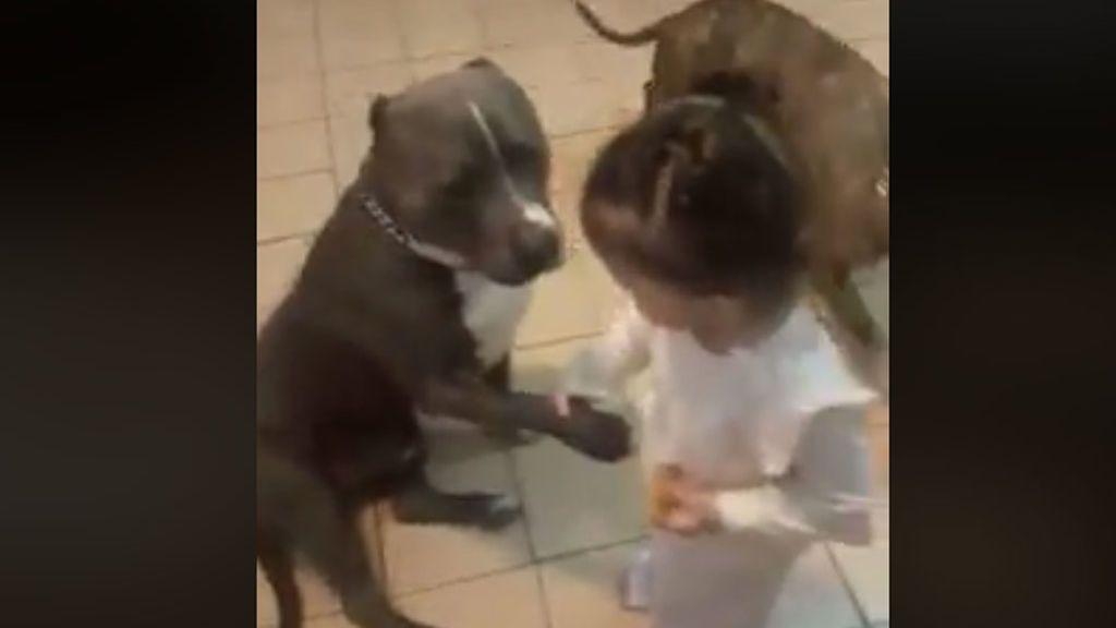 Una 'pequeña domadora' demuestra que los pitbull no son agresivos si no se les enseña a serlo