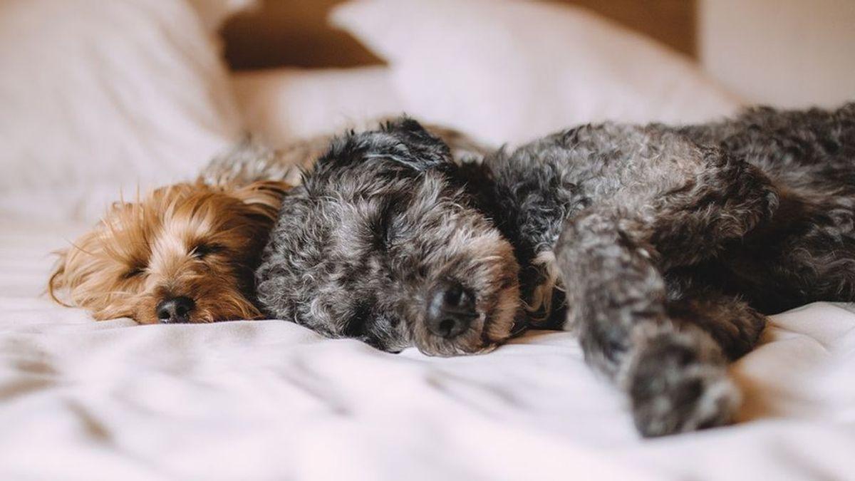 El mejor compañero de cama de una mujer es... ¡un perro!