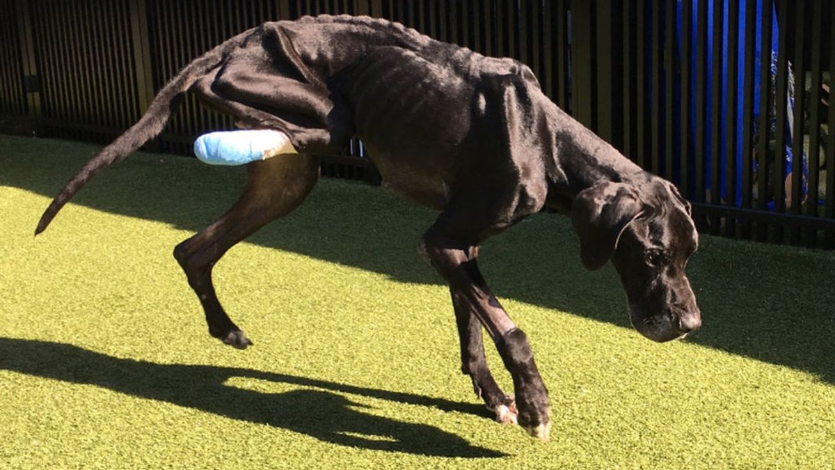 Un perro se muerde la pata para escapar de sus dueños que le tenían atado sin comer