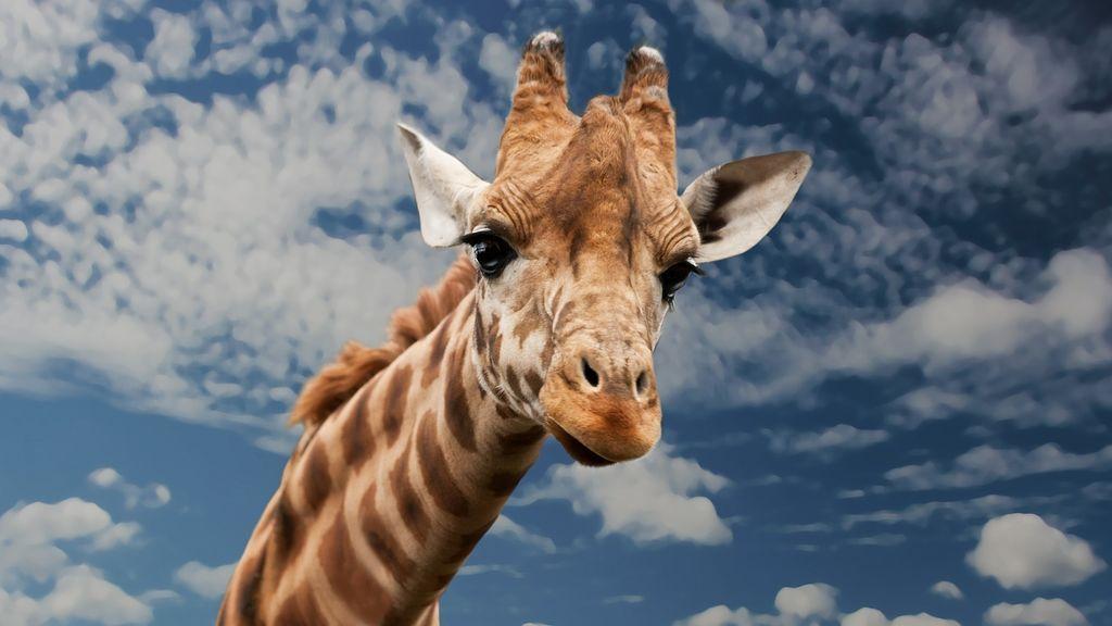 """Dos subespecies de jirafa están en """"peligro crítico"""""""