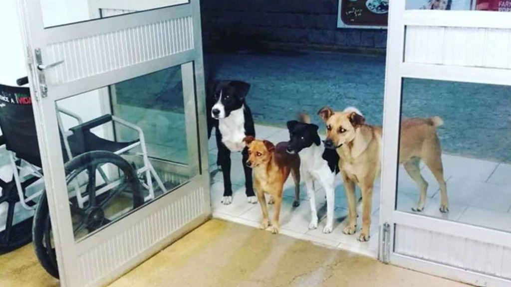 Los mejores amigos: Esperan ansiosos a su dueño a las puertas del hospital donde tuvo que ser atendido