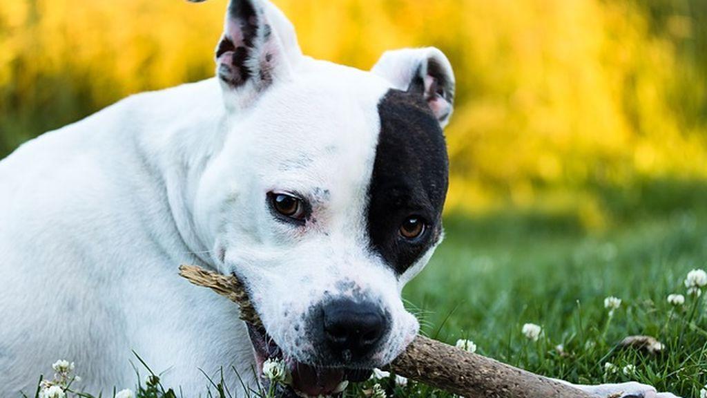 American Staffordshire, un perro con fama de violento y utilizado en las peleas