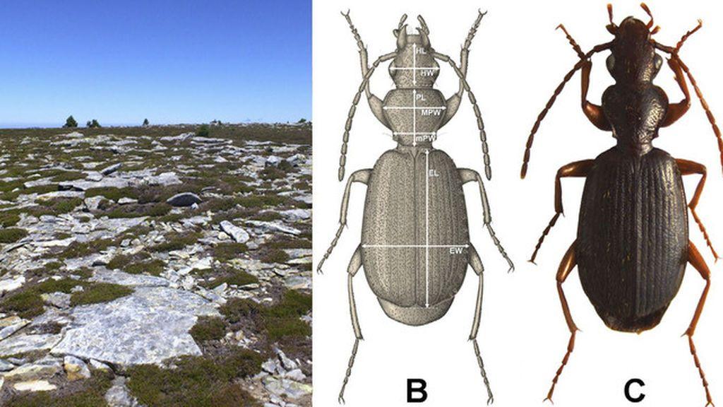 Descubierta una nueva especie de insecto en la alta montaña del sistema ibérico