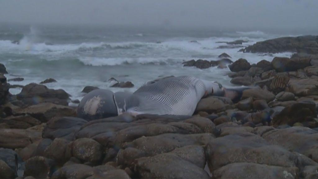 Una ballena de 20 metros y 30 toneladas aparece muerta en Oia, Pontevedra