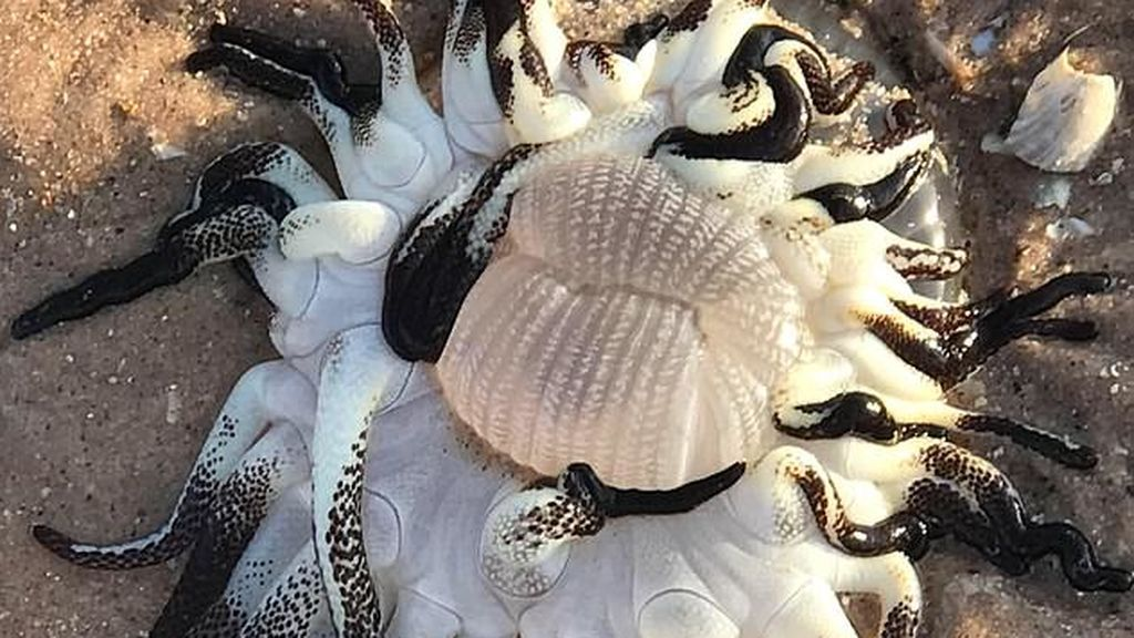 Encuentran una criatura con tentáculos en la costa australiana