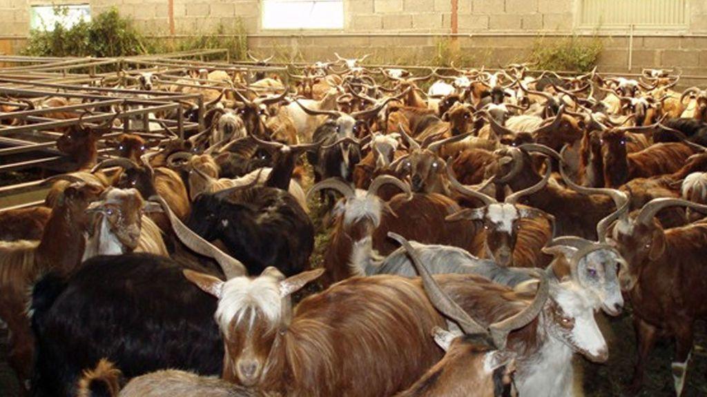 Detenido un hombre en Almería por abusar sexualmente de las cabras de sus vecinos